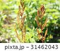 ゼンマイ 胞子葉 シダの写真 31462043