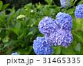 青いアジサイ 31465335
