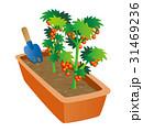 園芸、ミニトマト栽培、プチトマト 31469236