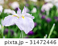 花菖蒲 31472446