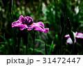花菖蒲 31472447