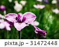 花菖蒲 31472448
