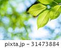 新緑イメージ 桜の葉 見上げ アップ エコイメージ 朝 31473884