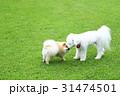 犬 ビション・フリーゼ 小型犬の写真 31474501