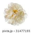 White peony flower 31477193