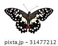 キアゲハ チョウ 蝴蝶の写真 31477212