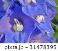 Splendid blue delphinium 31478395