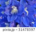 Splendid blue delphinium 31478397