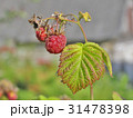 Little tasty raspberry with green leaf on branch 31478398