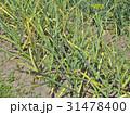 Patch with garlic. Growing garlic in garden 31478400