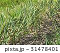 Patch with garlic. Growing garlic in garden 31478401