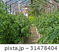 Growing tomatoes in greenhouse 31478404
