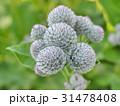 Thorns of burdock on green blurred background 31478408
