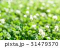 シロツメクサの草むらにある幸運の四つ葉のクローバー 31479370