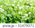 シロツメクサの草むらにある幸運の四つ葉のクローバー 31479371