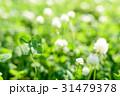 綺麗なシロツメクサの草むらにある幸運の四つ葉のクローバー 31479378