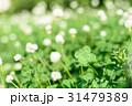 綺麗なシロツメクサの草むらにある幸運の四つ葉のクローバー 俯瞰 31479389