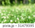シロツメクサの草むらにある幸運の四つ葉のクローバー 玉ボケ背景 31479395