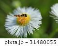 虫 昆虫 ホソヒラタアブの写真 31480055