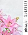 ユリ 花 ピンクの写真 31483423