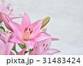 ユリ 花 ピンクの写真 31483424