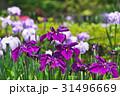 植物 花 アヤメの写真 31496669