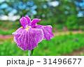植物 花 アヤメの写真 31496677