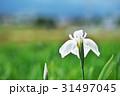 植物 花 アヤメの写真 31497045