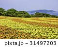 能古島の花畑  マリーゴールド 31497203