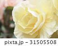 ベゴニア ベコニア シュウカイドウ科の写真 31505508