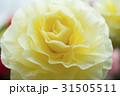 ベゴニア ベコニア シュウカイドウ科の写真 31505511
