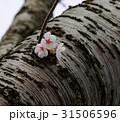 桜 31506596