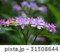 がく紫陽花 31508644