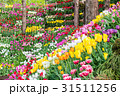 チューリップ 花 花壇の写真 31511256