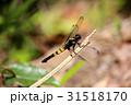 オオシオカラトンボ トンボ目 トンボ科の写真 31518170