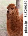 アルパカ 動物 哺乳類の写真 31529989