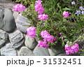 シバザクラ 31532451