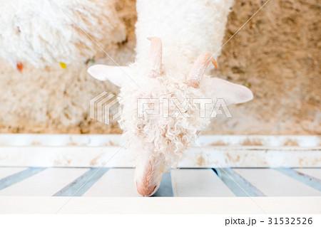 Sheep feeding. Close up child feeding milk bottle の写真素材 [31532526] - PIXTA