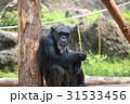 チンパンジー 見つめる 31533456