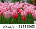 芝公園に群生するチューリップ 31536963