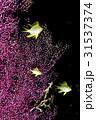 黄色い魚と紫色のソフトコーラル 31537374