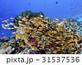 黄色い子魚の群れ 31537536