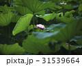 ブルーミング 咲く フラワーの写真 31539664