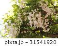 白い藤の花 31541920