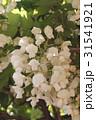 白い藤の花 31541921