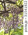 藤の花 31541922