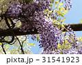 藤の花 31541923