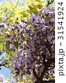 藤の花 31541924