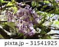 藤の花 31541925
