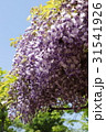 藤の花 31541926